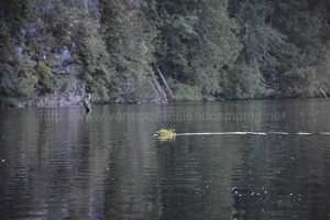 beaver swimming on kathleen lake camping vancouver island
